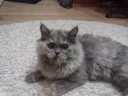 Свести персидскую кошку с персидским котом