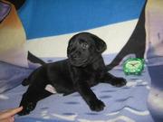 Лабрадора щенки классического черного окраса
